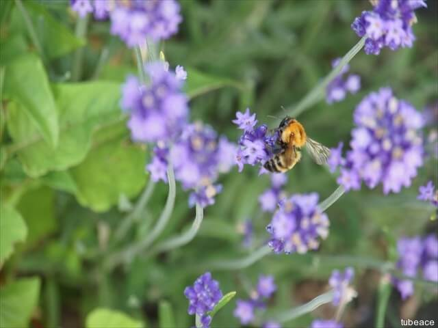 ラベンダーの花とハチ