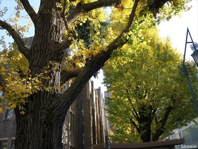 東京大学、銀杏の樹