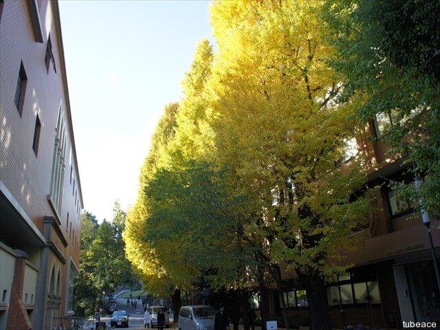 紅葉した銀杏の樹
