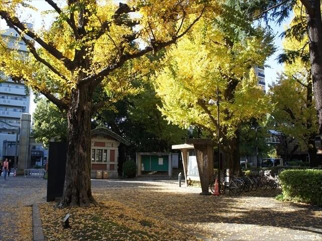 東京大学正門の銀杏の樹