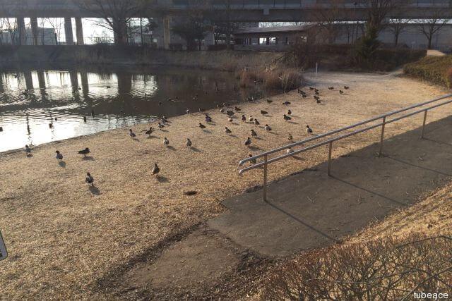 辰巳公園のカモ