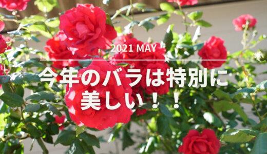 今年のバラは特別に美しい!!